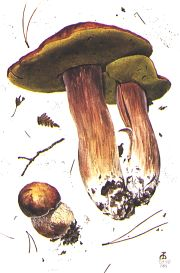 Boletus edulis (the edible bolete).  Click to follow the link.