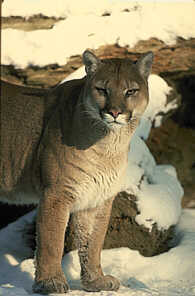 Felis concolor, or cougar
