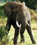 Click to learn more about elephants.