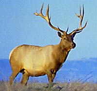 A tule elk.  Click to follow the link.