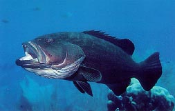 A black grouper.  Click to learn more.