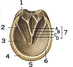 A horse's hoof.  Click to learn more.