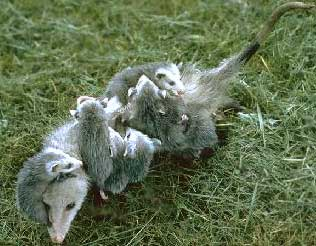 The marsupial known as the opossum, Didelphis virginialis.  Click to learn more.